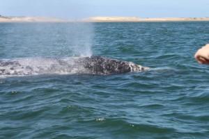 赤ちゃんクジラに触れた
