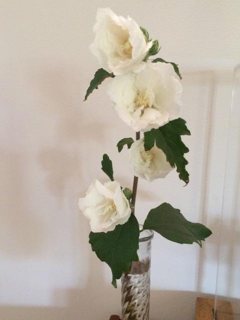 「わたしはシャロンのバラ」のシャロンのバラとは木槿のことでした。