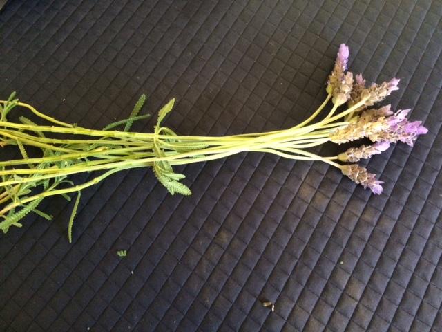 茎にカビがはえたラベンダー