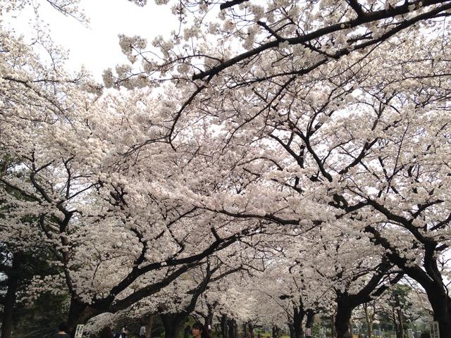 美しい日本の桜