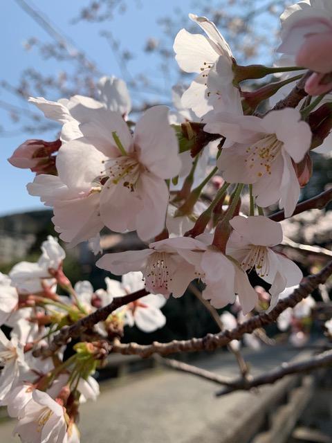 故郷の桜〜こんな美しいものを作ってくださった神様に感謝