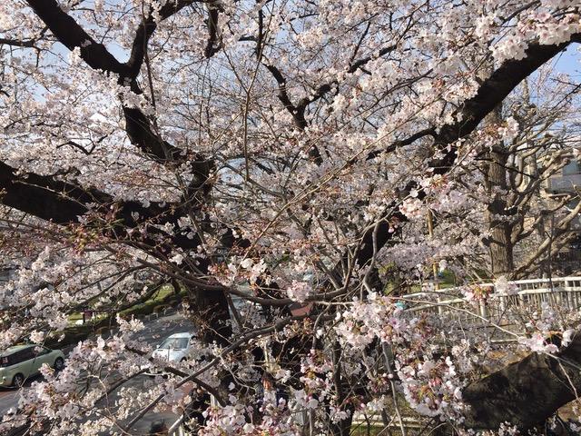 全地よ、主に向かって喜びの声をあげよ。天国をめざして咲きほこる桜